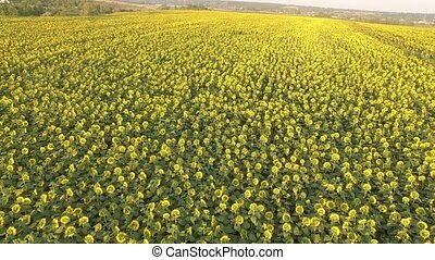 Field with blooming sunflowers. Aerial view. Top. From...