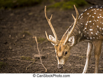 Axis deer male portrait - Great animal portrait, a deer buck...