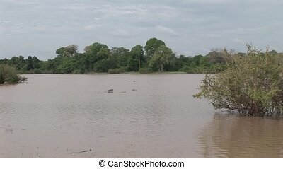 Wild Hippo in African river water h - Botswana wild Africa...
