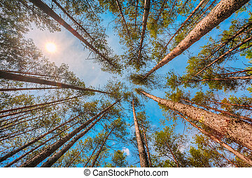 Bottom Right Angle View Of Tall Thin Pines, Summer Pinewood,...