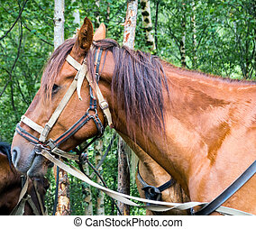 Portrait of brown horse - Brown horse in harness with the...