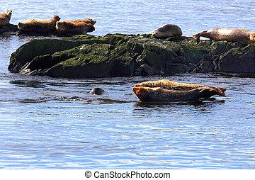 Atlantic Seals in Bay of Fundy - Over rocks in Atlantic...