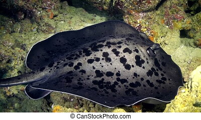 Black stingray swims over deep, rocky reef.