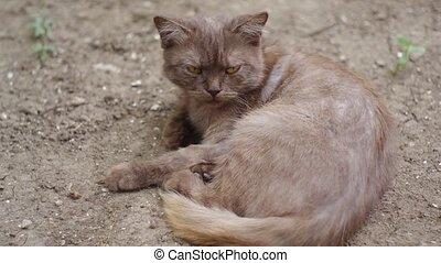 sullen cat - Yellow cat looking in Camera and moving his...