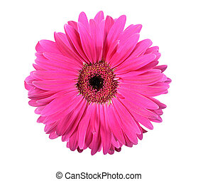 One pink flower isolated on white background. Close-up....