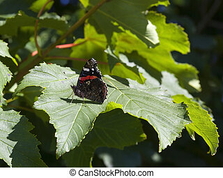 red admiral butterfly - a red admiral butterfly on sycamore...