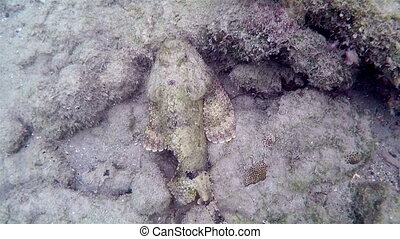 Spotted Scorpionfish spooked off - Spotted Scorpion-fish...