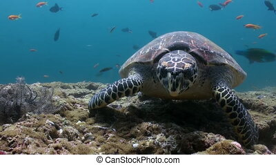 Hawksbill sea turtle swimming eating on coral reef. Amazing,...