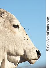 retrato, de, Un, brahman, vaca