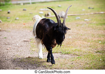 Billy goat on the wild national park