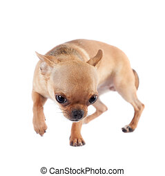 Chihuahua, 7 month old, on the white background - Chihuahua,...