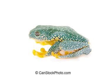 The fringe tree frog, Cruziohyla craspedopus, isolated on...