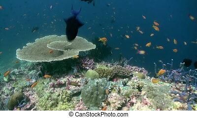 Underwater landscape of coral reef. Maldives. - Underwater...