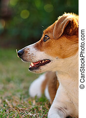 A beautiful attentive Jack Russel pup