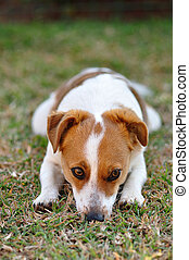A beautiful sleepy attentive Jack Russel pup