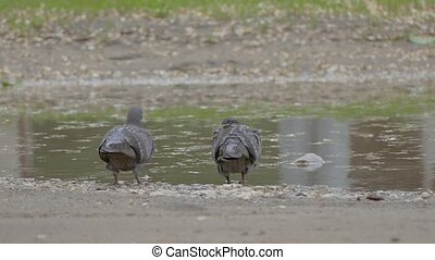 Pigeons bathe in a pool of slow motion video - gray doves...