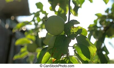 green apple tree morning sunlight garden agriculture slow...