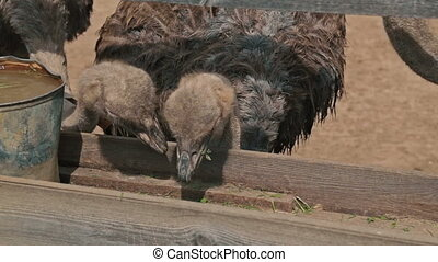 Group of ostriches eat from the trough on an ostrich farm -...