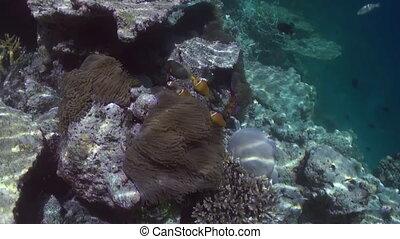 Underwater landscape of coral reef Maldives - Underwater...