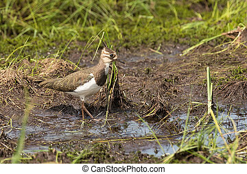 lapwing on a swamp - pied lapwing walks on a swamp close up