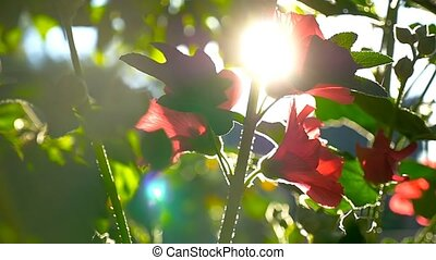 flower red on a green background nature dawn morning slow...