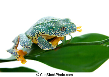The fringe tree frog on white - The fringe tree frog,...