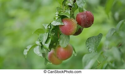 cherry-plum plums on the tree leaves and green nature background