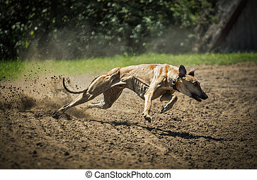 Greyhounds at full speed