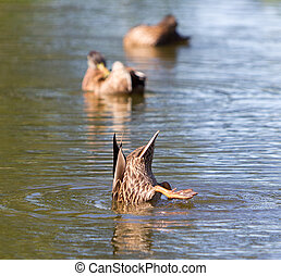 Mallard duck diving in the lake water