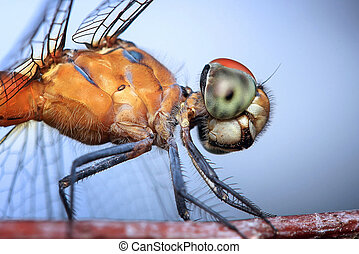 Dragonflies, insects, animals, nature, macro Dragonfly -...
