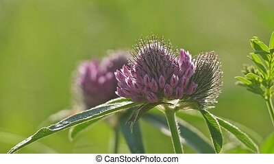 clover flowers sway in the sun slow motion video - pink...
