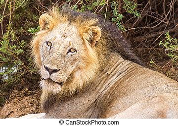 Lion om Tsavo National Park in Kenya