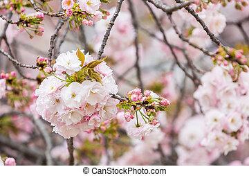 Cereza, flor, sakura, estación, en, japón