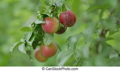cherry-plum plums on the tree leaves and nature green...