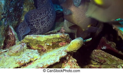 Moray Eel poking its head out of its hole in reef. - Giant...