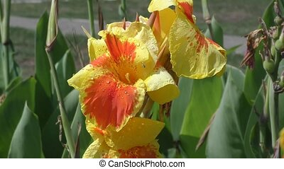 Flower Canna yellow-red in the summer morning