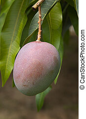 Mango - Organically grown green mangoes hanging from a tree