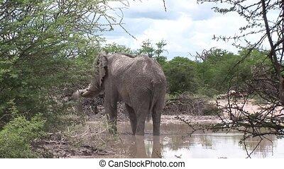 Wild Elephant (Elephantidae) in Afr - Botswana wild Africa...