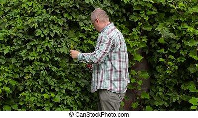 Gardener near vines using the gardener's scissors