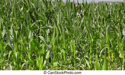 Farmer walks through corn field and talking on the phone