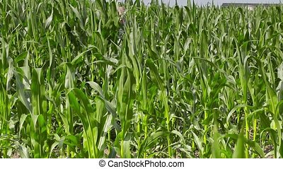 Farmer walks through corn field and using tablet PC