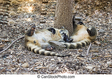 Two coati lie on the ground under a tree
