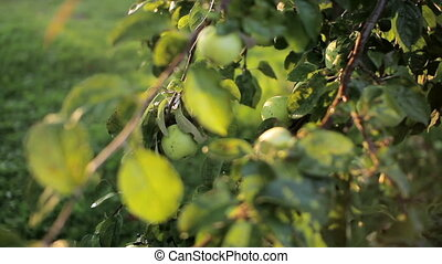 Red and green apples hanging on a branch of apple. Independent harvest garden vegetables. moving the camera
