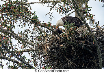 Bald eagle nest in Alaska - Bald eagle adult and chick in...