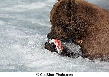 Alaskan brown bear eating salmon - A large Alaskan Brown...