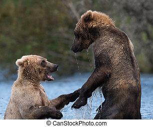 Two Alaskan brown bears playing - Two sub adult Alaskan...