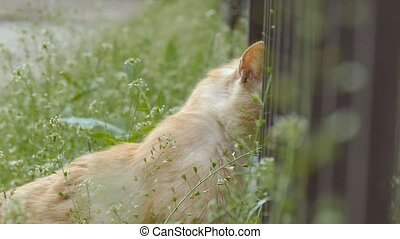 cat peeks over the fence slow motion video - ginger cat in...