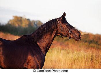 portrait of beautiful black breed stallion in field