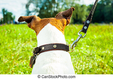 dog leash and owner - jack russell dog with owner and...