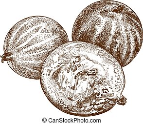 engraving gooseberry - Vector antique engraving illustration...